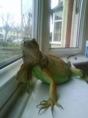 Female green iguana forsale