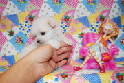 trained.  Teacup Maltese  for sale